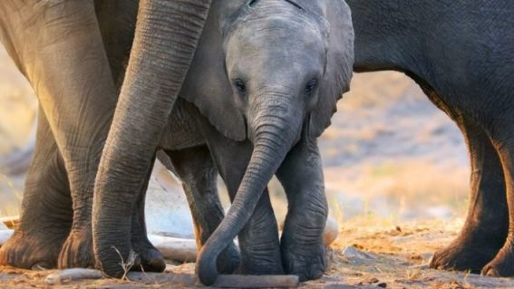 Elephant and the soul-replenishing allure of nature documentaries