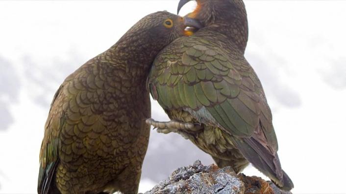 Keas: NZ's Witty Daredevils